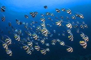 Pennant coralfish (Heniochus acuminatus) Tofo, Mozambique, Indian Ocean.