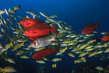 Lunar-tailed bigeye (Priacanthus hamrur) with blueline snappers (Lutjanus kasmira) in the background;Mozambique