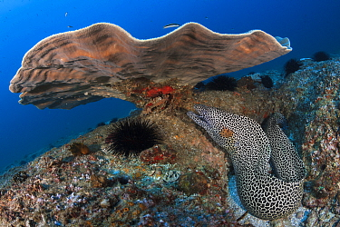 Honeycomb moray eel (Gymnothorax favagineus) under coral, Mozambique
