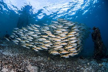 Yellowfin goatfish (Mulloides vanicolensis) inside lagoon Toau Atoll, Tuamotu archipelago, French Polynesia, Pacific Ocean.