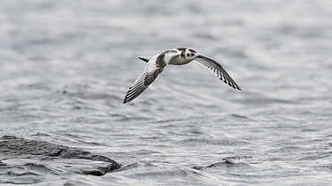 Little gull Hydrocoloeus minutus), in flight, Finland, September