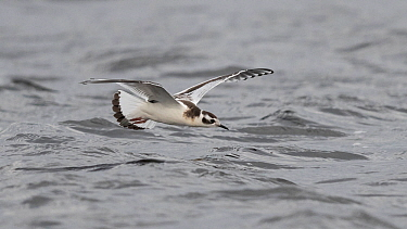 Little Gull Hydrocoloeus minutus) in flight catching insects, Finland, September