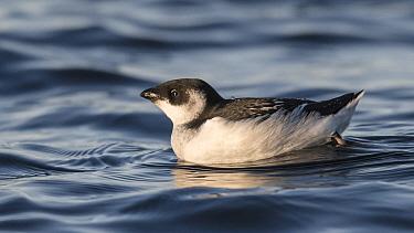 Little auk (Alle alle), in winter, Finland, November.