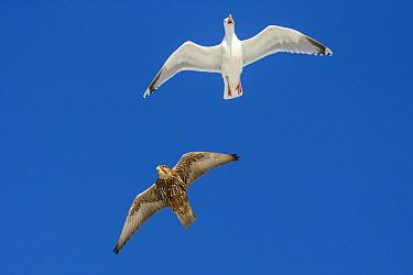 Gyrfalcon (Falco rusticolus) with  Herring gull (Larus argentatus) chasing it off,  Hornoya birdcliff, Vardo, Norway. March