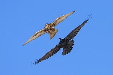 Gyrfalcon (Falco rusticolus) chased by Raven (Corvus corax). Hornoya birdcliff, Vardo, Norway. March