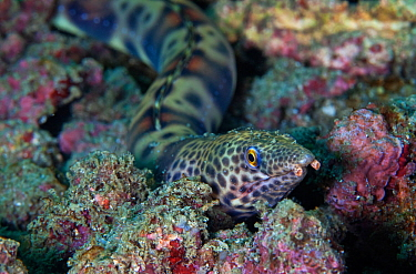 Redsaddled snake eel (Quassiremus nothochir), San Agustin Bay, Huatulco Bays National Park, southern Mexico, November