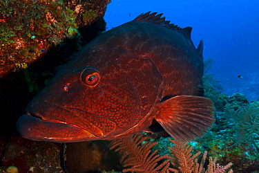 Black grouper (Mycteroperca bonaci),Jardines de la Reina / Gardens of the Queen National Park, Caribbean Sea, Ciego de Avila, Cuba, January