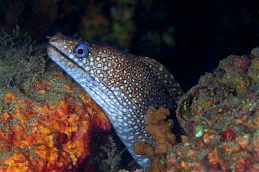 Jewel moray (Muraena lentiginosa), El Violin, Huatulco Bays National Park, southern Mexico, November
