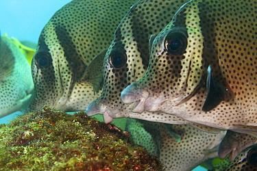Yellowtail surgeonfish (Prionurus punctatus) feeding, San Agustin Bay, Huatulco Bays National Park, southern Mexico, November