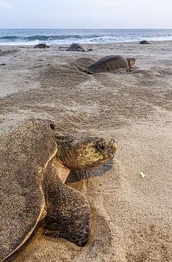 Olive ridley sea turtle (Lepidochelys olivacea) nesting, Arribada (mass nesting event), Playa Morro Ayuta, Oaxaca state, southern Mexico, Vulnerable species.