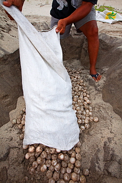 Biologist burying Olive Ridley Turtle (Lepidochelys olivacea) eggs seized from poachers by the authorities, Arribada (mass nesting event), Playa Morro Ayuta, Oaxaca state, southern Mexico. Vulnerable...