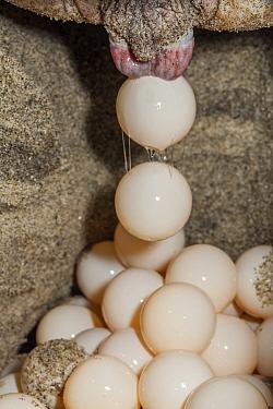 Olive Ridley Sea Turtle (Lepidochelys olivacea) nesting, egg in nest,  Arribada (mass nesting event), Playa Morro Ayuta, Oaxaca state, southern Mexico, IUCN Vulnerable, August