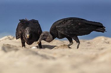 American Black Vulture (Coragyps atratus) eating Olive ridley sea turtle (Lepidochelys olivacea) egg, Arribada (mass nesting event), Playa Morro Ayuta, Oaxaca state, southern Mexico.