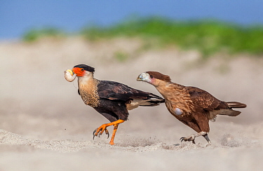Crested caracara (Caracara cheriway) adult eating Olive ridley sea turtle (Lepidochelys olivacea) egg, juvenile trying to steal it,  Arribada (mass nesting event), Playa Morro Ayuta, Oaxaca state, sou...