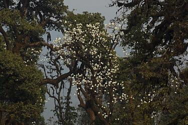 Magnolia flowers (Magnolia campbellii) Sikkim, India.