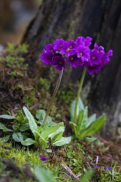 Primrose (Primula calderiana) flowers, Sikkim, India.