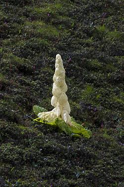 Noble rhubarb (Rheum nobile) plant, Sikkim, India.