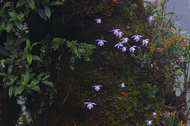 Peacock orchids (Pleione hookeriana) on tree trunk, West Bengal, India
