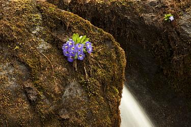 Primrose (Primula whitei) flowers by waterfall, Arunachal Pradesh, India.