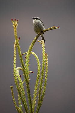 Grey bushchat (Saxicola ferreus) perched on plant, Arunachal Pradesh, India.