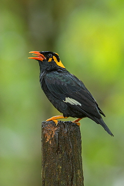Lesser hill myna (Gracula indica) singing on branch, Kerala, India.