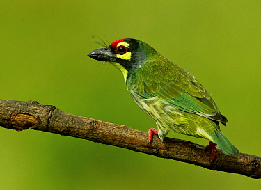 Coppersmith barbet (Psilopogon haemacephalus) perched on branch, Bangalore, Karnataka, India.