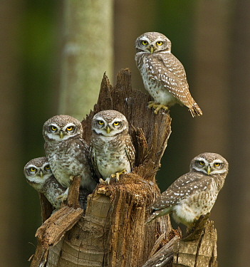 Spotted owlets (Athene brama) group of juveniles, Tamil Nadu, India.