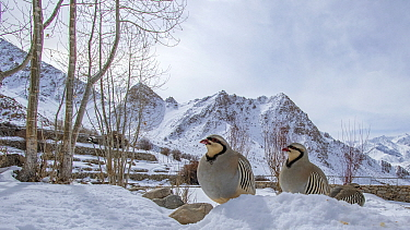 Chukar partridges (Alectoris chukar) three in snow, Ladakh, Jammu and Kashmir, India. March.