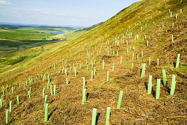 Tree planting at the RSPB reserve at Geltsdale North Cumbria UK. May 2005