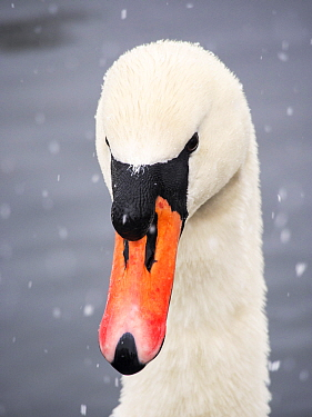 Mute Swan (Cygnus olor) in the snow on Lake Windermere, Lake District, England, UK. March.