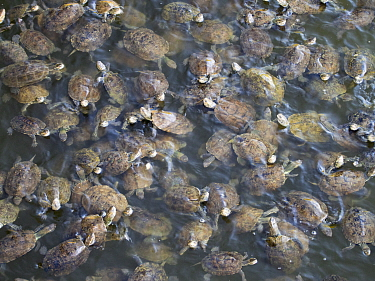 Striped necked terrapins (Mauremys caspica) in a river in Skala Eresou, Lesvos, Greece. June.
