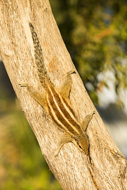 Three striped squirrel  (Funambulus palmarum) Tilonia, Rajasthan, India. December.