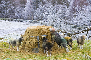 Herdwick sheep feeding on hay during a cold snap near Tarn Hows in the Lake district UK. January 2009