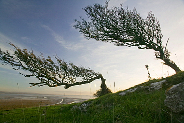 Hawthorn trees (Crataegus monogyna) bent over by the prevailing wind on Humphrey Head Point above Morecambe Bay , Grange over Sands, England, UK. November 2006