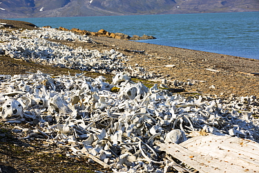 Pile of bones, the remains of hunted Beluga Whales (Delphinapterus leucas) at Bourbonhamna Svalbard, Norway, July 2013