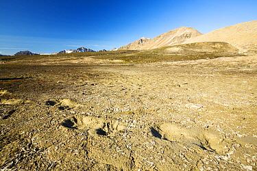 Polar Bear footprints in melting permafrost on Northern Svalbard. July 2013