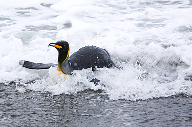 King penguin (Aptenodytes patagonicus) returning to the shore, Salisbury Plain, South Georgia, Southern Ocean. February.