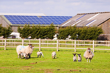 A 35 Kw solar panel system on a barn roof on a farm in Leicestershire, UK with sheep and lambs in the foreground. March 2012