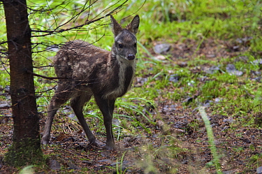 Siberian musk deer (Moschus moschiferus) fawn, Irkutsk, Russia. June.