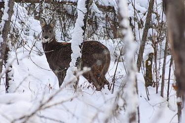 Siberian musk deer (Moschus moschiferus) male in snow, Irkutsk, Russia. December.