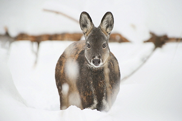 Siberian musk deer (Moschus moschiferus) female in snow,  Irkutsk, Russia. January.