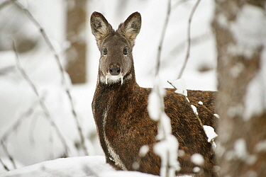 Siberian musk deer (Moschus moschiferus) male in snow, Irkutsk, Russia. January.