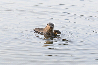 Smooth-coated otter (Lutrogale perspicillata) with young otters, socializing in the early morning, Kallang River, Singapore
