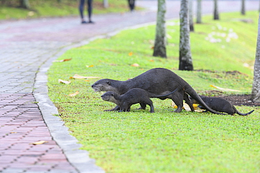 Smooth-coated otters (Lutrogale perspicillata)  two young, heading back to shelter,  Kallang River, Singapore