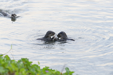 Smooth-coated otters (Lutrogale perspicillata) eating fish in the early morning in Kallang River, Singapore
