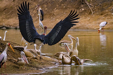 Birds squabbling over fish in the Msicadzi River. Pink-backed pelican (Pelecanus rufescens) biting at the head of another pelican with a pouch full of fish while a marabou stork (Leptoptilos crumenife...