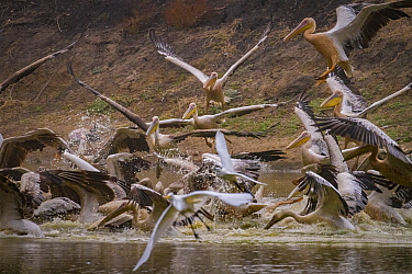 Great white pelicans (Pelecanus onocrotalus) and pink-backed pelicans (Pelecanus rufescens) diving into the Musicadzi River, Gorongosa National Park, Mozambique. During the  dry season many water sour...