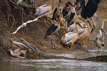 Nile crocodile (Crocodylus niloticus) eating Great white pelican (Pelecanus onocrotalus). With birds on the shore including pink-backed pelicans (Pelecanus rufescens), marabou storks (Leptoptilos crum...