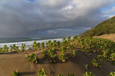 Dunes with Ink / Beach berry (Scaevola plumieri)  Cape Vidal, iSimangaliso Wetland Park UNESCO World Heritage Site, and RAMSAR Wetland. KwaZulu Natal, South Africa.