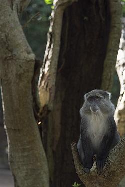 Samango Monkey (Cercopithecus mitis erythrarchus) Cape Vidal, Isimangaliso Wetland Park UNESCO World Heritage Site, and RAMSAR Wetland. KwaZulu Natal, South Africa,